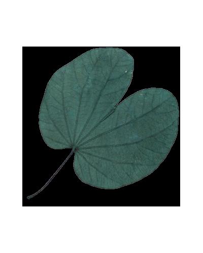 liście begonii
